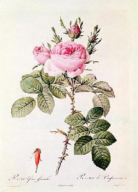 Rosa Bifera Officinalis, from ''Les Roses'' Claude Antoine Thory (1757-1827) ; engraved by Eustache