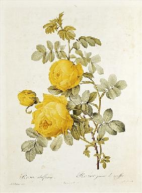 Rosa Sulfurea (Yellow Rose) from ''Les Roses'' Claude Antoine Thory (1757-1827) ; engraved by Eustac