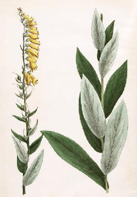 Yellow Foxglove / from Hochstetter