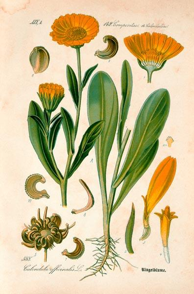 Marigold / from: THome s Flora von ...