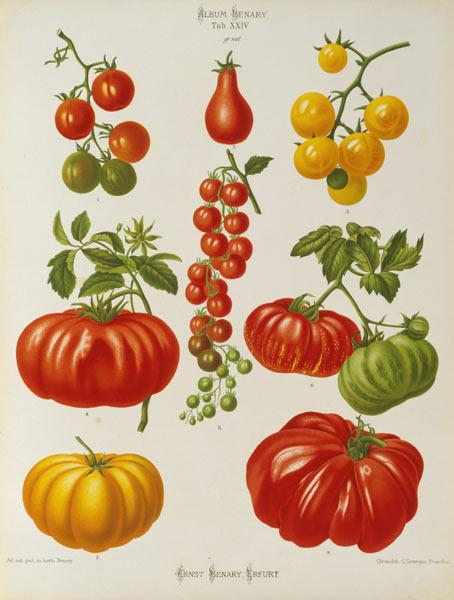 Tomatoes / Album Benary / Lithograph
