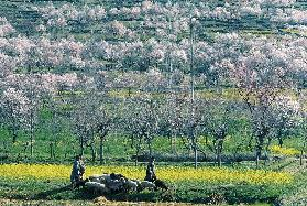 Almond trees and mustard flowers in bloom dotting hill-slope, Pampore, Srinagar