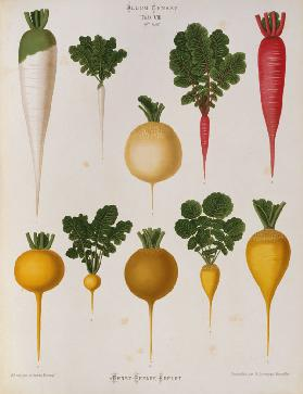 Radishes / Album Benary / Lithograph