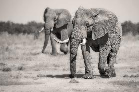 Twin Elephants