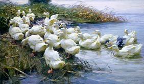 Kunstdruck von Alexander Koester - Enten am See-Ufer
