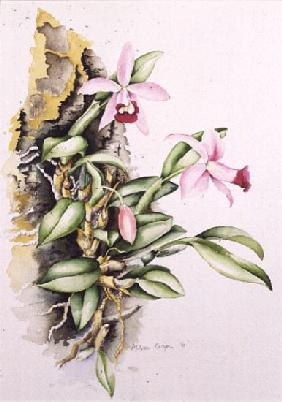 15:Orchid: Laelia pumila, by Alison Cooper (living artist)
