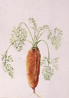Carrot from my Garden (w/c)