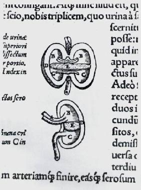 Kidney, two sections