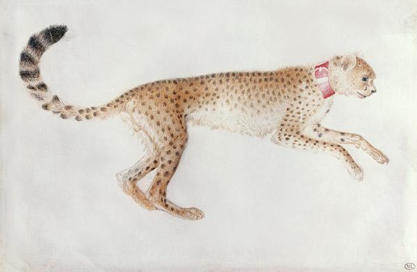 Bounding cheetah with a red collar (w/c on parchment)