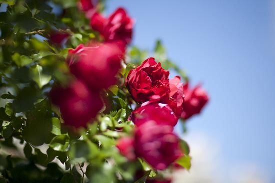 rote rosen arno burgi als kunstdruck oder handgemaltes gem lde. Black Bedroom Furniture Sets. Home Design Ideas