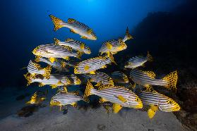 Underwater photography-Indian ocean sweetlips