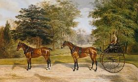 Two horses, harnessed in tandem, pulling a carriage 1883