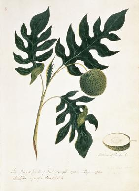 Brotfruchtbaum (The Bread Fruit of Otahytey) 1792
