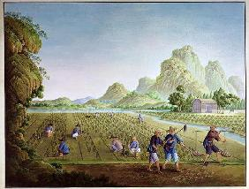 Rice cultivation in China, transplanting plants (colour litho) 17th