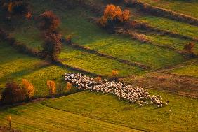Sheep herd at sunset