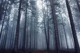 Mysterious foggy forest.