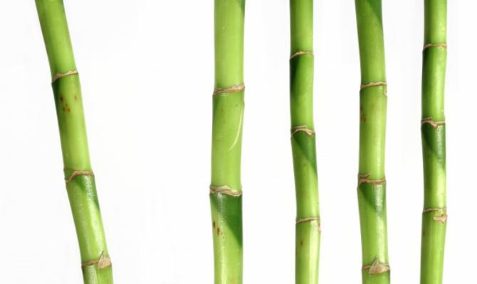 bambus dietrich pietsch als kunstdruck oder handgemaltes. Black Bedroom Furniture Sets. Home Design Ideas