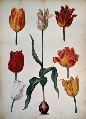 "Tulips: from ""Verzameling van Bloemen naar deNatuur getekend"" (Collection of flowers drawn from natu"