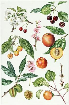 Cherries and other fruit-bearing trees (w/c)