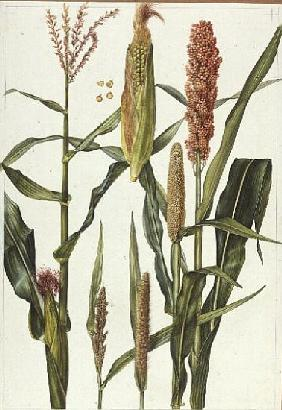 Maize and other crops (w/c)