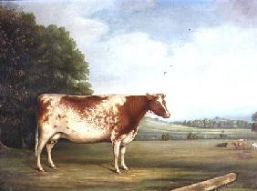 A Prize Shorthorn Cow in a Landscape