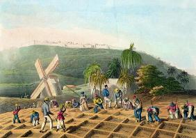 Planting the Sugar-Cane, pub. by Infant School Society Depository, London, c.1820 (etching, engravin 1835