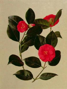 Camellia japonica (oil on paper)