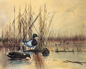 Mallard Ducks in a Lake c.1890  on