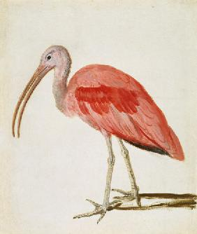 Portrait of a Scarlet Ibis...