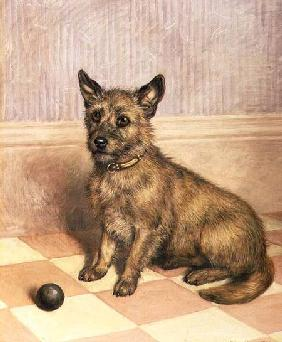Waiting to Play, a Cairn terrier with a ball