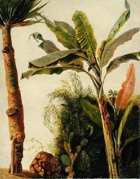 Banana Tree c.1865  ca