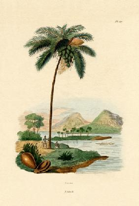 Coconut Palm 1833-39