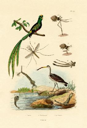 Curlew 1833-39