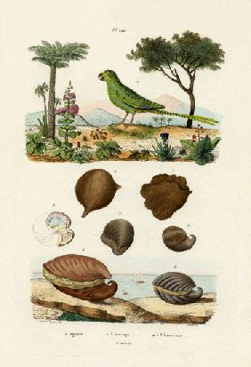 Ground Parrot 1833-39