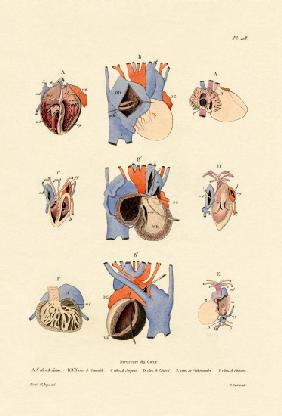 Heart Structure 1833-39