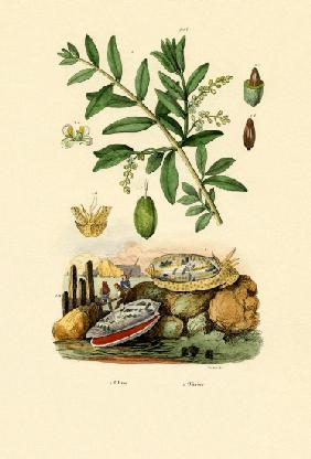 Olive Shell 1833-39