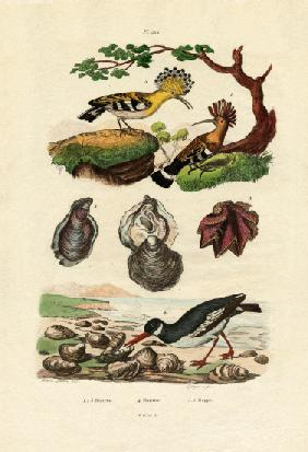 Oysters 1833-39