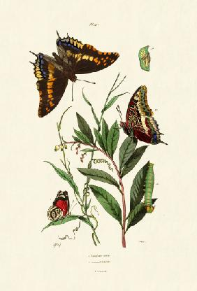 Two-tailed Pasha 1833-39