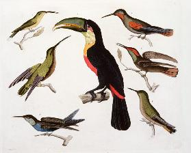Native birds, including the Toucan (centre), Amazon, Brazil, from 'Le Costume Ancien et Moderne', Vo 1908