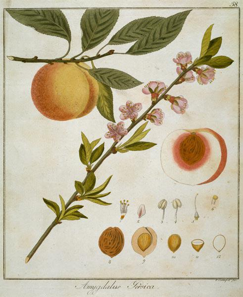 Apricot / Etching by Guimpel