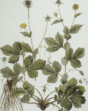 Avens / Etching by Guimpel