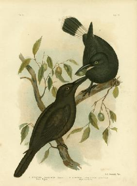 Black Magpie Or Black Currawong 1891