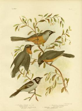 Carinated Flycatcher Or Black-Faced Monarch 1891