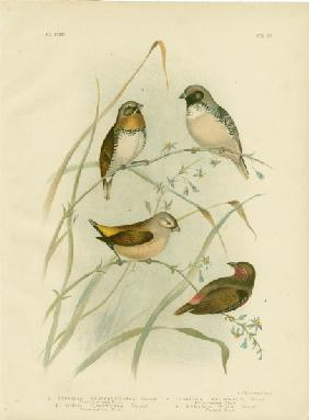 Chestnut-Breasted Finch 1891