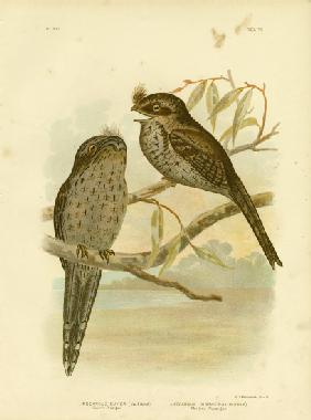 Cuvier'S Podargus Or Tawny Frogmouth 1891
