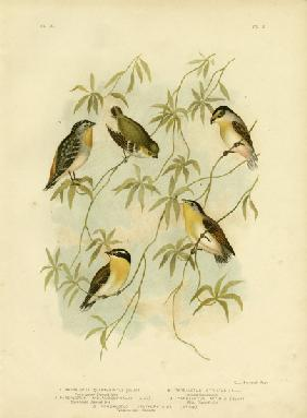 Forty-Spotted Diamondbird Or Forty-Spotted Pardalote 1891
