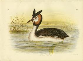Great Crested Grebe 1891