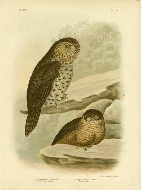 Great Owl Of The Brushes Or Powerful Owl 1891