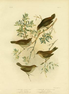 Inland Thornbill Or Broad-Tailed Thornbill 1891