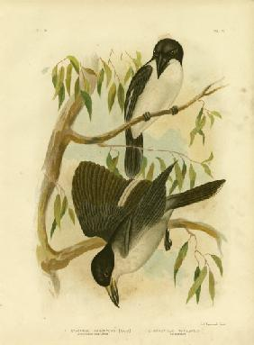 Silverys-Backed Crow-Shrike Or Silver-Backed Butcherbird 1891